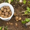 What vegetables and fruits store best in a root cellar