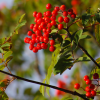 Know your edible berries in the wild
